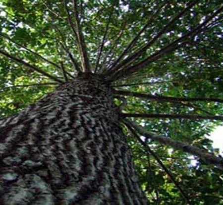 Amazon Trees – 300 Years Needed to Catalog all Amazon Tree Species
