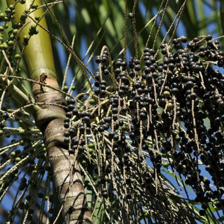 Fruits of the Amazon Forest – Açaí